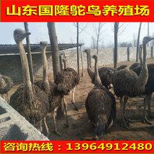 鸵鸟苗价格鸵鸟多少钱一只鸵鸟养殖场图片