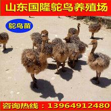 鸵鸟苗价格鸵鸟养殖效益鸵鸟养殖场图片