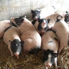 巴馬香豬養殖場出售香豬種豬小香豬香豬多少錢一只圖片