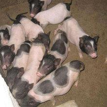 香猪价格香猪养殖巴马香猪价格藏香猪价格野猪价格小香猪价格图片