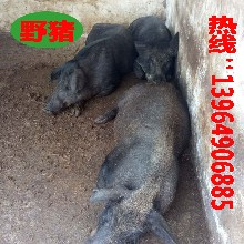 野豬價格,小野豬價格多少錢,野豬養殖行情,野豬養殖利潤圖片