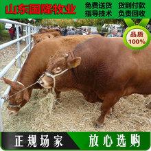 黄牛品种;养殖30头肉牛犊的成本;平山县肉牛养殖场图片