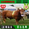 延长县肉牛价格;西门塔尔牛什么价格