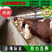 現在黃牛價格;八個月的肉牛犢什么價格;吉縣肉牛養殖場圖片