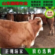 黄牛养殖技术;7个月的肉牛犊什么价格;偏关县肉牛养殖场图片