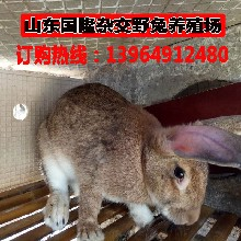 獺兔吃什么徐州市野兔價格一個月的野兔多少錢一只圖片