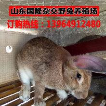獭兔吃什么徐州市野兔价格一个月的野兔多少钱一只图片