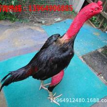 纯种斗鸡价格斗鸡养殖场斗鸡多少钱一只能打斗的斗鸡价格图片