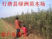 河北省哪里有出售苹果苗的
