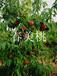 河北省出售桃树苗的厂家基地