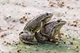 江苏冯强先生的远航青蛙养殖经历