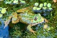 冯强先生的远航青蛙养殖基地