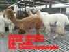 哪里有卖宠物羊驼的羊驼租赁价格