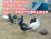 三明市孔雀养殖到农大特种养殖场