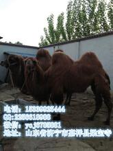 骆驼养殖观赏骆驼价格双峰骆驼价格