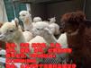 抚州哪里有卖羊驼的羊驼租赁价格