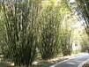 竹類植物價格:紫竹、剛竹、叢竹、毛竹、佛肚竹、孝順竹、鋪地竹