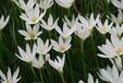草坪草种售价:红花酢浆草、肾蕨、美国地锦、草莓凌霄、白花葱兰