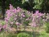 香料植物报价:丁香、山楂、香椿香花槐、美人梅橙子树、枣树木瓜