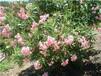 常绿花卉报价:栀子花、十大功劳、毛鹃、春鹃、丝兰、夏鹃、紫鹃