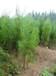 常綠灌木價格:灑金珊瑚、蘇鐵樹、側柏、木本繡球、木芙蓉、垂榆