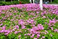 草本花卉报价:红花酢浆草、葱兰、阔叶麦冬、德国鸢尾、玉簪蛇莓