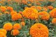 草本花卉售价:万寿菊、红花酢浆草、紫藤、阔叶麦冬草、德国鸢尾