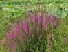 水生花卉售价:芡实灯心草、荷花、黄花鸢尾、千屈菜、鸡头莲菖蒲