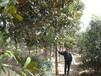 绿化苗木价格:二乔玉兰、广玉兰、紫玉兰、深山含笑、香樟树辛夷