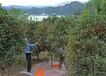 風水花卉報價:元寶楓、比利時杜鵑、八角金盤火棘、繡球花萬壽菊