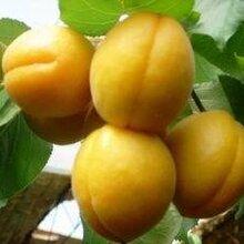 農產品陜西大荔縣杏子代理杏子只有大荔縣好圖片