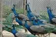 汕头孔雀鸵鸟批发出售