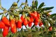 农家创业好项目枸杞鲜果种植—大量种树低价供应