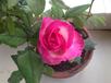 五棵包邮玫瑰苗糖果雪山大苗切花月季大苗工程绿化盆栽植物