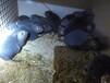 竹鼠养殖如何选种