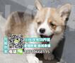 珠海哪里有卖柯基犬珠海柯基犬价格柯基犬多少钱一只珠海买狗去哪里图片