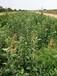 山西苹果苗价格山西哪里有富士苹果苗种植基地烟富6号8号苹果苗