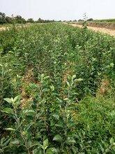 山西苹果苗价格山西哪里有富士苹果苗种植基地烟富6号8号苹果苗图片