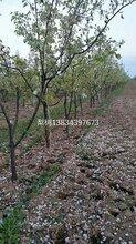 占地梨树多少钱一棵??5公分梨树价格?6公分占地梨树价格图片
