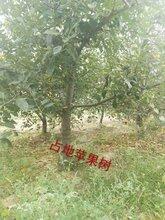 8公分苹果树价格~10公分苹果树产地山西运城苹果树产地图片