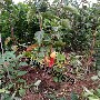 占地柿子树价格??6公分8公分10公分12公分柿子树多少钱?图片