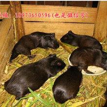 黑豚价格,荷兰猪价格