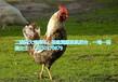 生鲜白条家禽佩戴的二维码脚环标识定做厂家