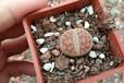赣州生石花、屁股花、多肉植物、红宝石多肉植物