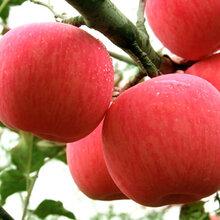 富硒苹果哪里有富硒苹果营养价值富硒苹果价值富硒苹果技术