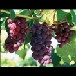 陕西大荔青提葡萄基地红提葡萄批发巨峰葡萄产地户太葡萄价格