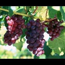 陕西大荔青提葡萄基地红提葡萄批发巨峰葡萄产地户太葡萄价格图片