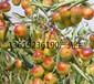 陕西大荔温棚冬枣大量上市,优质沾花冬枣基地陆地冬枣价格