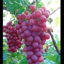 陜西大荔紅提葡萄供應,大荔紅提葡萄價格行情圖片