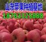 河北石家庄红富士苹果批发产地